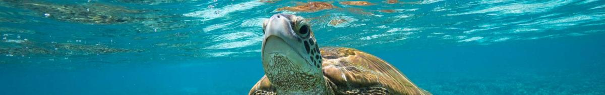 Turtle swimming in clear blue water